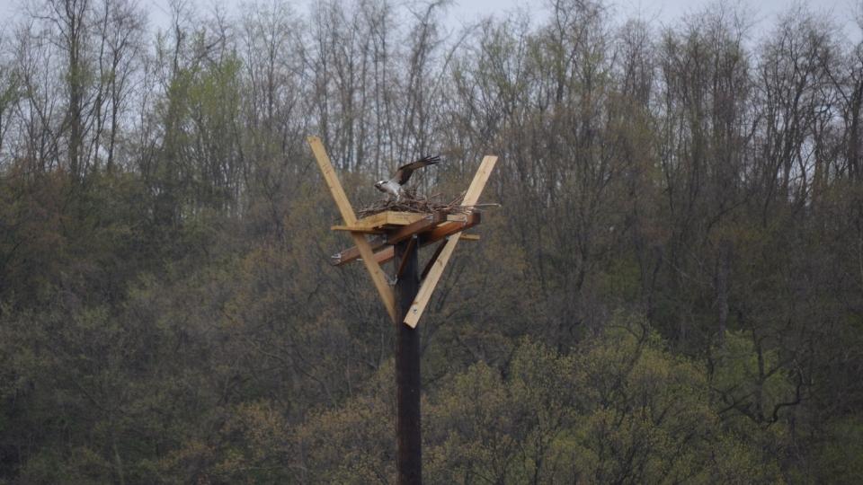 Osprey1